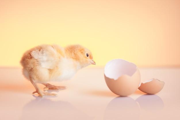 Kleine nieuwsgierige uitgebroede kip die op eierschaal kijkt Gratis Foto