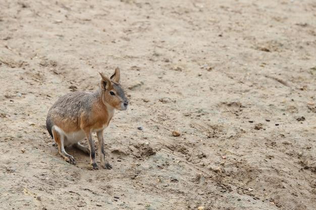 Kleine patagonische mara op zand Gratis Foto