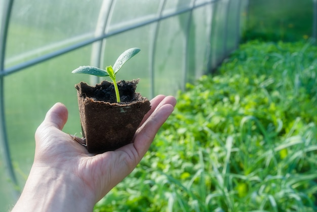 Kleine plant ontkiemen in biologische beker klaar om te worden geplant in een kas Premium Foto