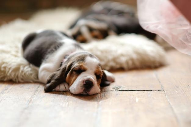 Kleine pup liggend op houten vloer Gratis Foto
