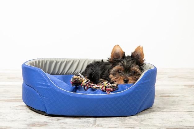 Kleine puppy ligt in een kamer in een hondenmand met speelgoed   Premium  Foto