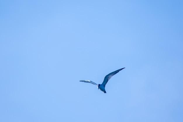Kleine stern vliegt, kleine stern is een kleine zeevogel. , wetenschappelijke naam sternula albifrons, kleine stern is een soort zeevogels. Premium Foto