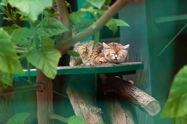 Kleine wilde kattenslaap in de dierentuin Premium Foto