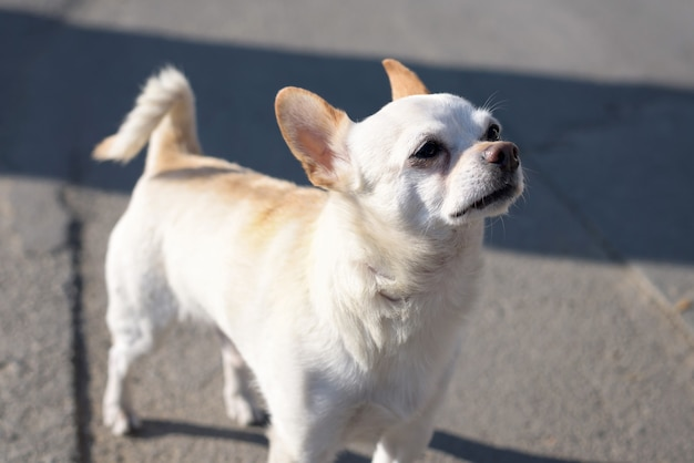 Kleine witte chihuahuahond met bruine oren Premium Foto