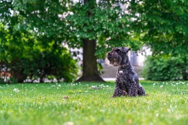 Kleine zwarte schnauzer in het stadspark Premium Foto