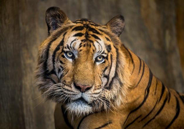 Kleurrijk gezicht van aziatische tijger. Premium Foto