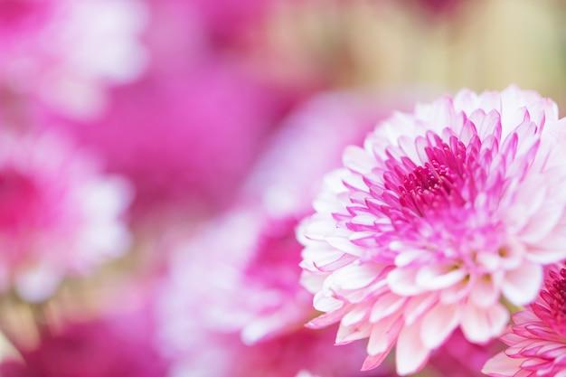 Kleurrijke bloemenchrysant met gradiënt voor achtergrond wordt gemaakt die Premium Foto