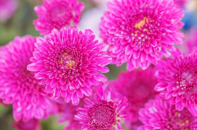 Kleurrijke bloemenchrysant voor achtergrond Premium Foto