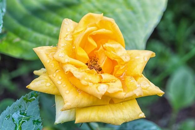 Kleurrijke gele roze bloem Premium Foto