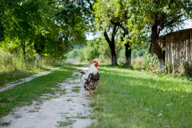 Kleurrijke haan op het landbouwbedrijf, mooie hanen die op de straat, het concept van dorpseco lopen Premium Foto