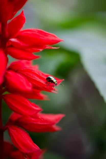 Kleurrijke kever die op een mooie rode bloem kruipt Premium Foto