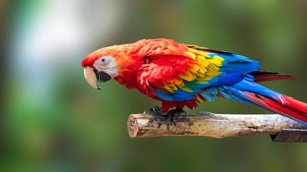 Kleurrijke papegaaienvogel op aardachtergrond. rode en blauwe marcaw op de takken. Premium Foto