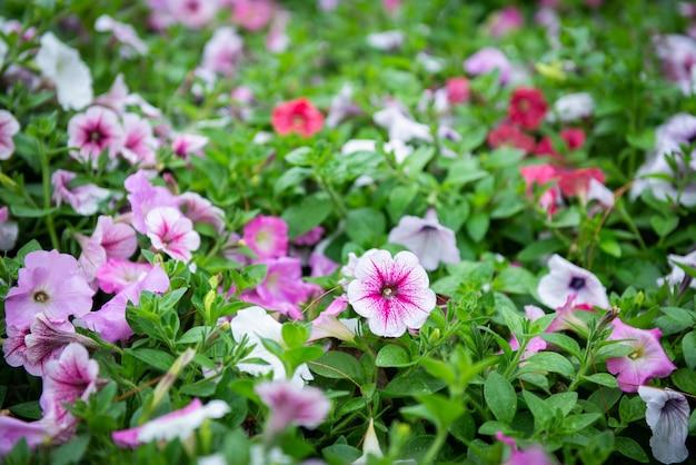 Kleurrijke petuniabloem in tuin Premium Foto