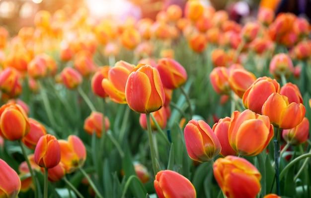 Kleurrijke tulpen bloem veld. Premium Foto