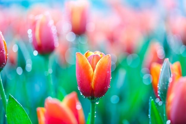 Kleurrijke verse tulpen in de binnenbloementuin met waterdalingen Premium Foto
