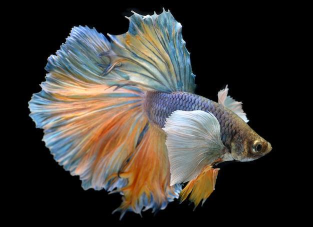 Kleurrijke weifeling van betta saimese-vechtvissen Premium Foto