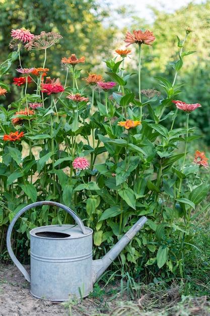 Kleurrijke zinnia, mooie pretentieloze zomerbloem in de tuin en ijzeren tuingieter Premium Foto