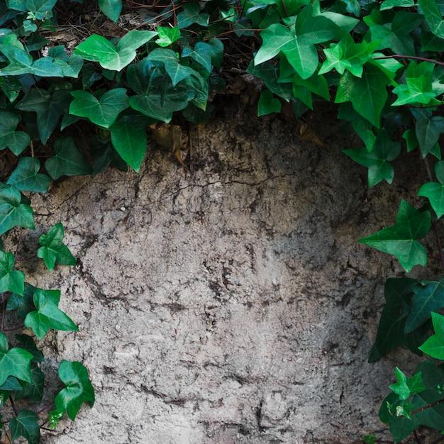 Klimop takken op steenachtig oppervlak Gratis Foto