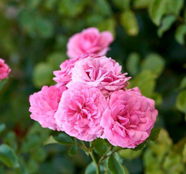 Knoppen van roze bloeiende rozen in de tuin, groene achtergrond Premium Foto