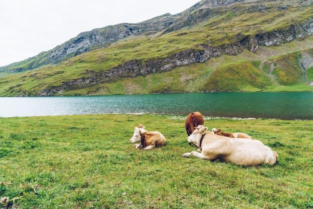 Koe in de berg grindelwald van zwitserland alpen eerst Premium Foto