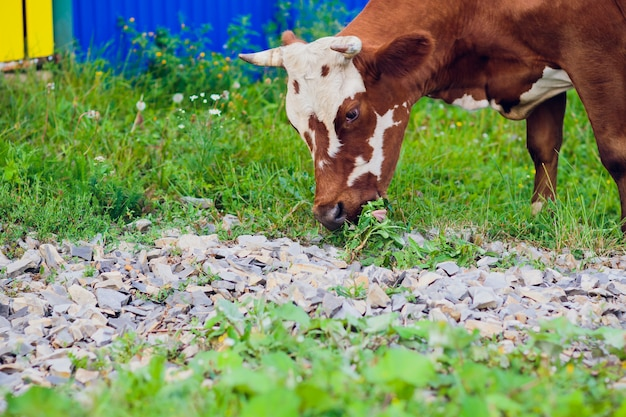 Koeien bij selectieve nadruk van het de zomer de groene gebied Premium Foto