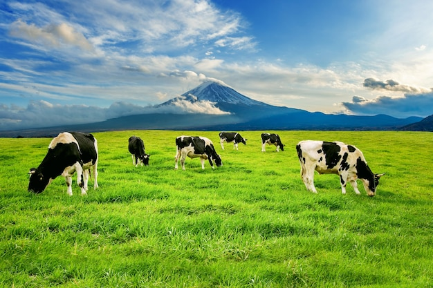 Koeien die weelderig gras eten op het groene veld voor fuji-berg, japan. Gratis Foto