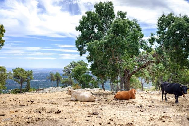 Koeien en stieren die en in een weide bovenop een spaanse berg weiden rusten Premium Foto