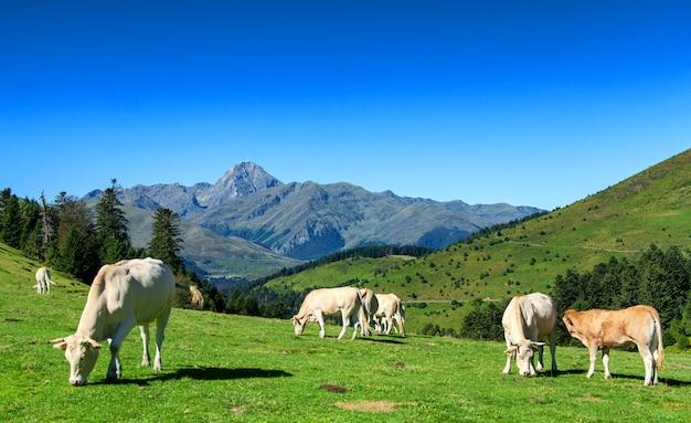 Koeien grazen in weilanden van de pyreneeën, pic du midi op achtergrond Premium Foto