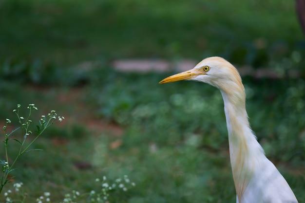 Koereiger in zijn natuurlijke habitat Premium Foto