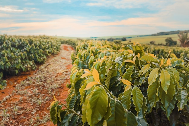 Koffie boerderij veld Premium Foto