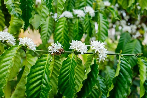 Koffiebloem die op boom bloeit Premium Foto