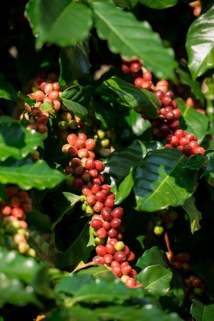 Koffiebomen in de koffietuin, arabica-koffieboomsoorten. Premium Foto