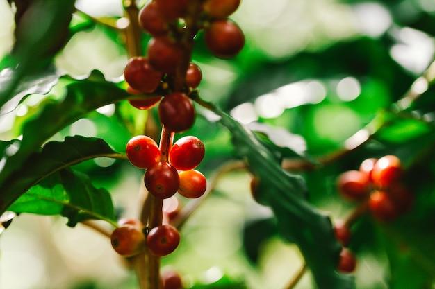 Koffiebonen die op boom in het noorden van thailand rijpen Premium Foto