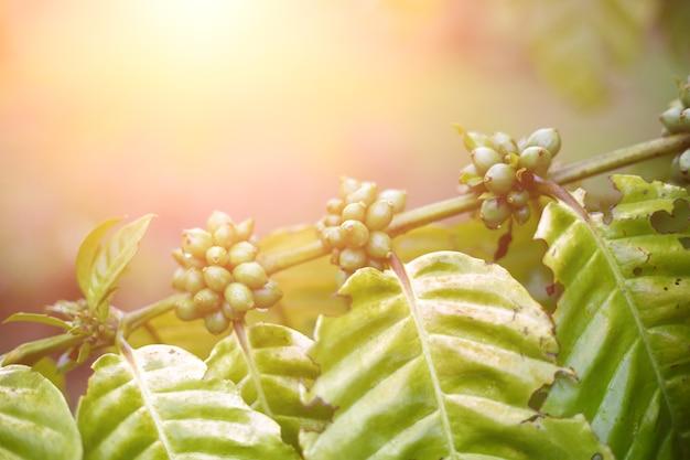Koffiebonen die op een boom rijpen. robusta Premium Foto