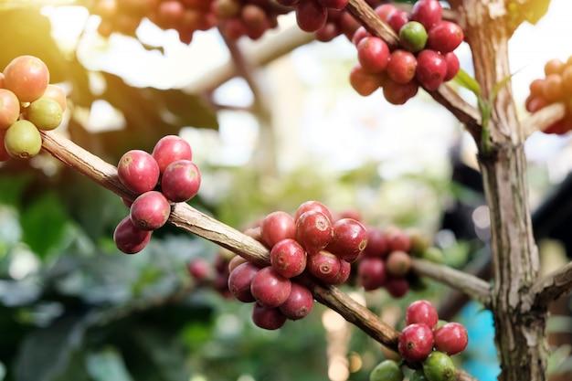 Koffiebonen op bomen in koffieplantages Premium Foto
