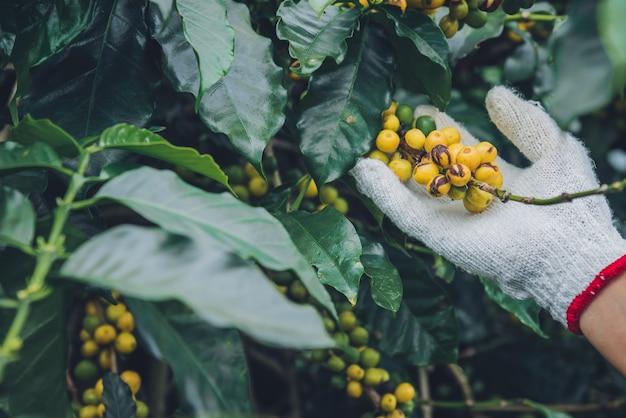 Koffieboom met koffiebonen op koffieplantage, hoe te om koffiebonen te oogsten. arbeider oogst arabica koffiebonen. Premium Foto