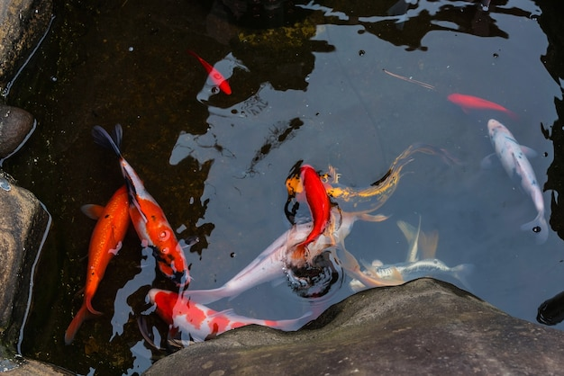 Karpers In Tuin : Koi karper vissen zwemmen in japanse tuin vijver foto premium