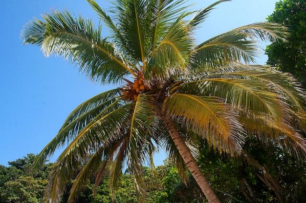 Kokosnoten rijpen aan een palmboom tegen een blauwe lucht op de similan-eilanden. Premium Foto