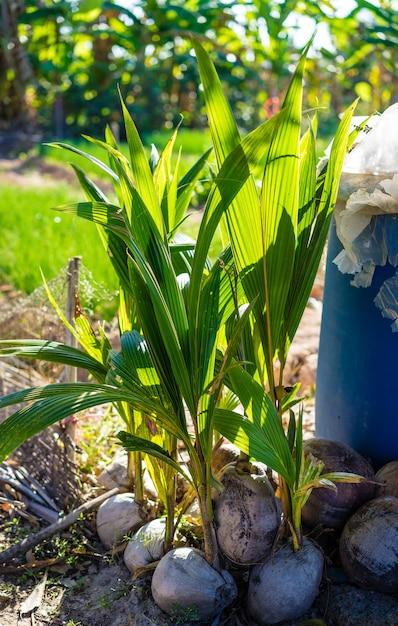 Kokosnotenzaailing van droge kokosnoot klaar voor het planten op houten achtergrond Premium Foto