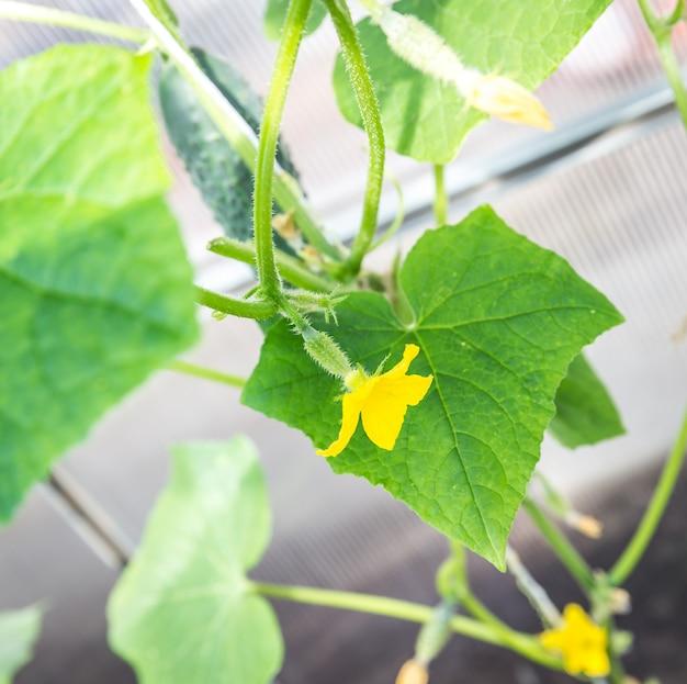 Komkommer in de tuin Premium Foto