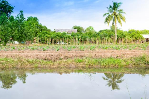 Komkommer veld groeien met druppelirrigatie systeem. Premium Foto