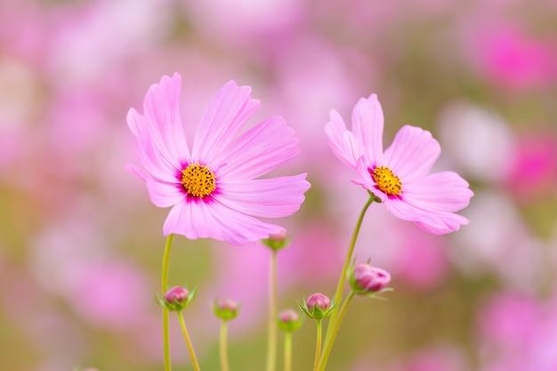 Kosmos bloem veld Premium Foto