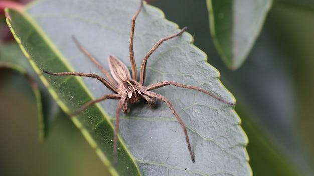Kraamwebspin (pisaura mirabilis, mannelijk) Gratis Foto
