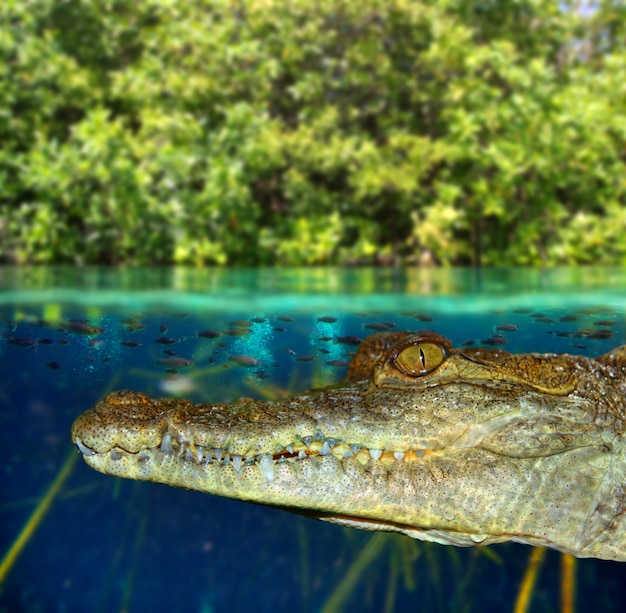 Krokodil cayman zwemmen in mangrovemoeras Premium Foto