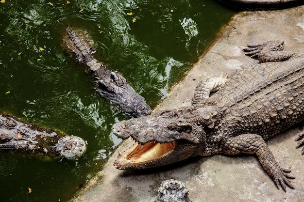 Krokodil in boerderij met zonlicht. Premium Foto