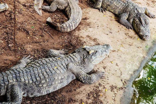 Krokodil op grond in boerderij. Premium Foto