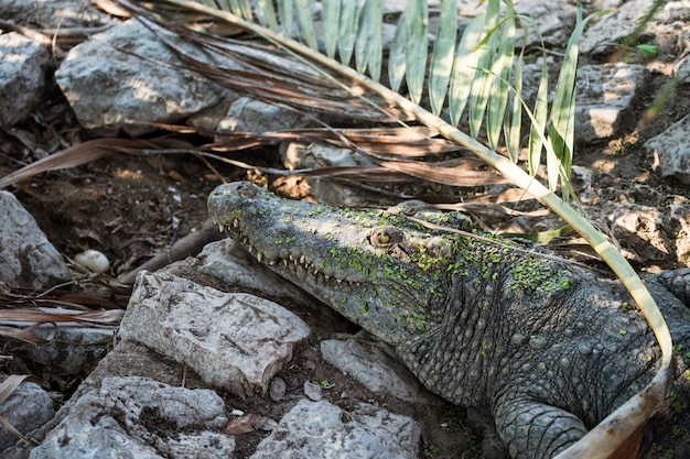 Krokodil waakt over haar ei Premium Foto