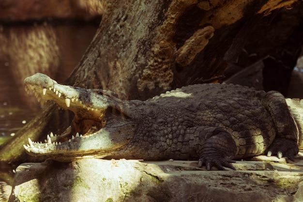 Krokodil Gratis Foto