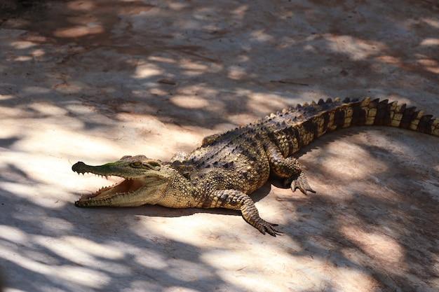 Krokodil Premium Foto
