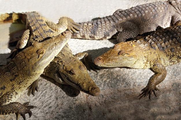 Krokodillen die een zonbad hebben in zuid-amerika Premium Foto